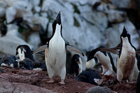 Adelie penguin - Petermann Island
