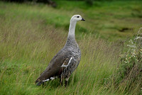 greater upland goose