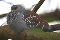 Columba guinea,Speckled Pigeon